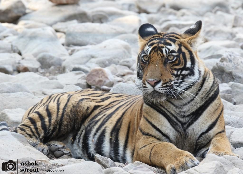 RNP tiget cub
