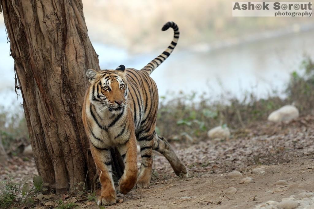 Tigress Paro